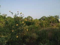 Sunflowers at Elm Creek
