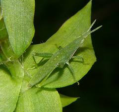 Grasshoppers Orthoptera Caelifera of Whitsunday Shire