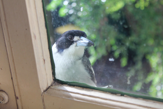 Begging butcherbird