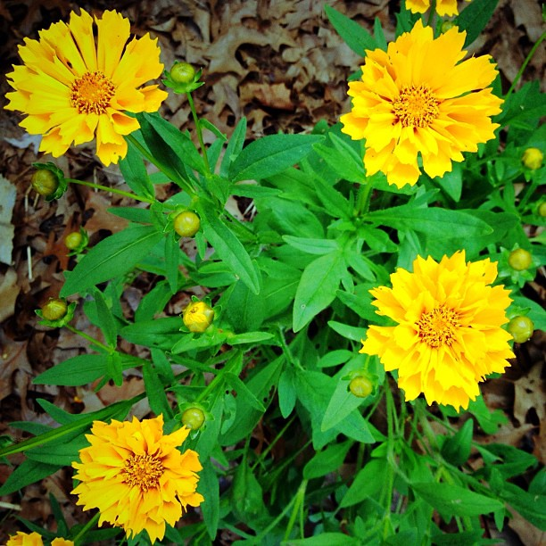 yellow perennial flowers | Flickr - Photo Sharing!