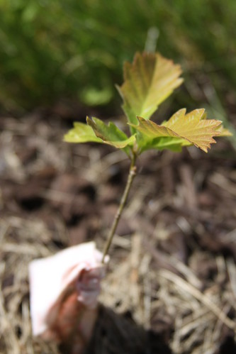 Baby Scrub Maple