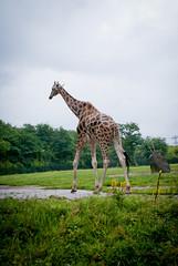 animal, zoo, plain, nature, giraffe, fauna, giraffidae, savanna, grassland, safari, wildlife,