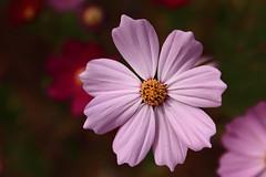 blossom(0.0), plant(0.0), plant stem(0.0), annual plant(1.0), flower(1.0), garden cosmos(1.0), macro photography(1.0), wildflower(1.0), flora(1.0), close-up(1.0), cosmos(1.0), pink(1.0), petal(1.0),