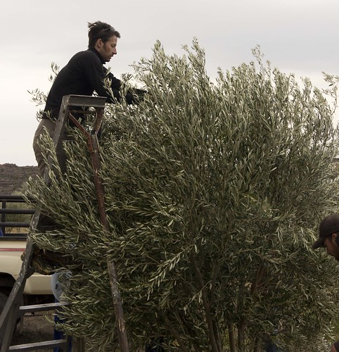 getting the olives