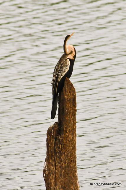 Darter / Snake Bird At Periyar Tiger Reserve, Thekkady by Pranav Bhasin