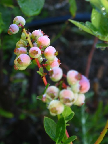 Blueberries in June 12