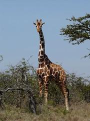 Giraffe - Mpala Farm