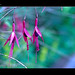 The Fuschias In The Wind