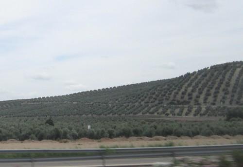 コルドバに向かう途中のオリーブ畑 2012年6月3日 by Poran111