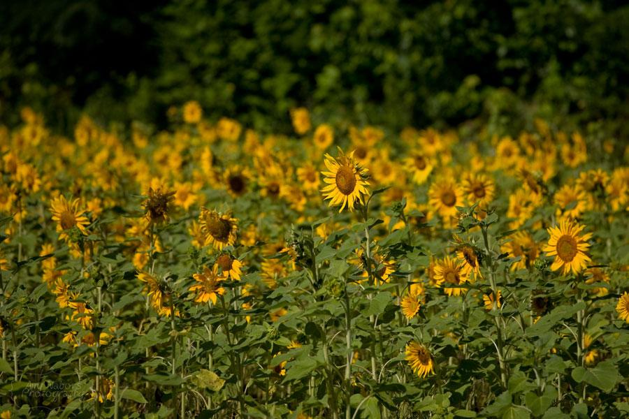 Sunflowers_Jun212012_0003