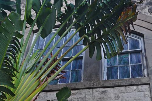 Ravenala madagascariensis - Traveler's Palm