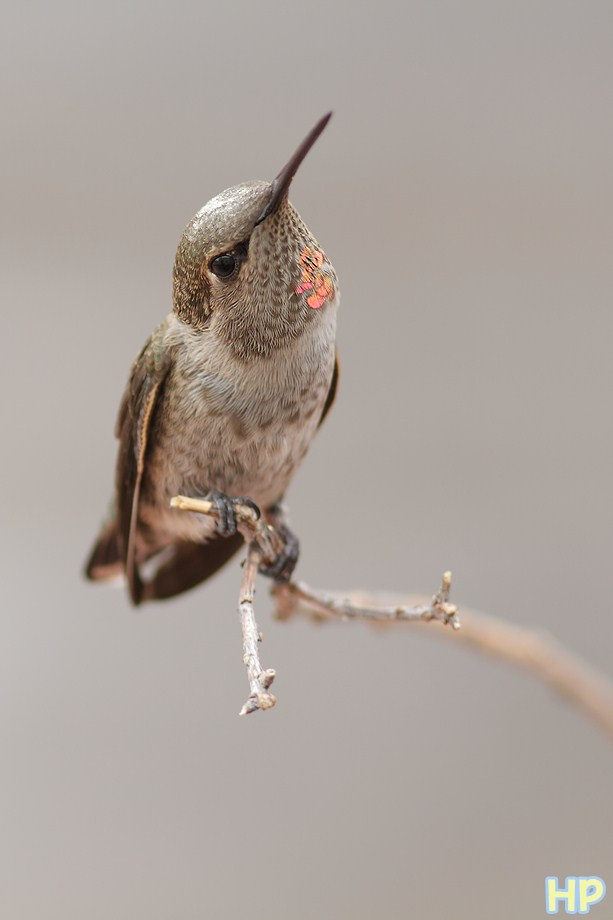 immature male Anna's Hummingbird 071212
