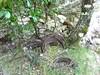 Le vieux chemin dans la brèche du Carciara : restes de câble métallique