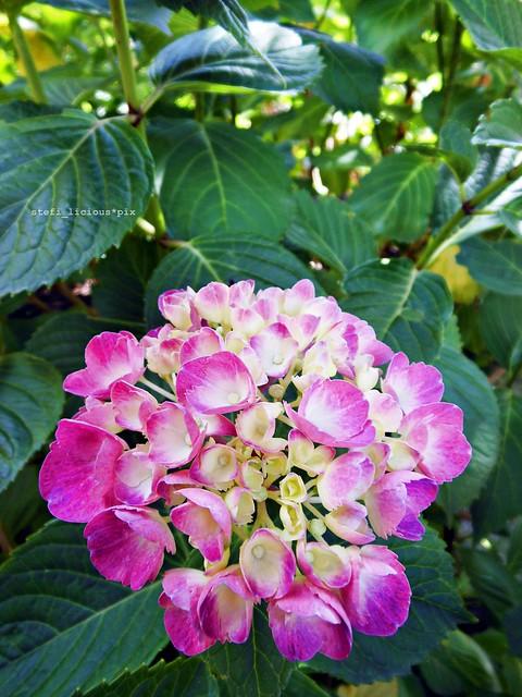 hortensie_pink