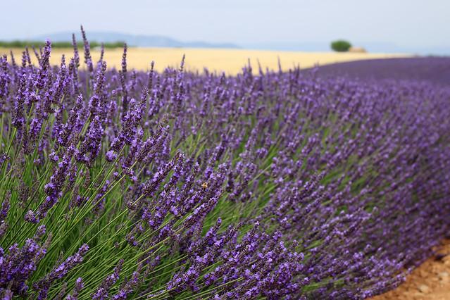 ProvenceLavender7