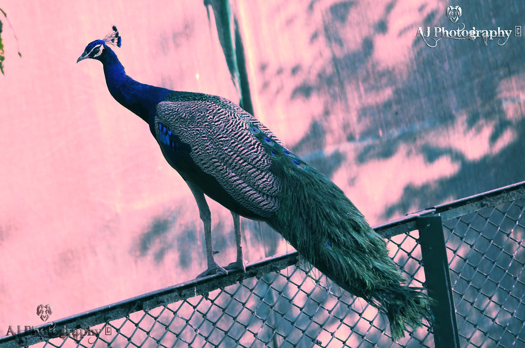 Indian Peacock at Flickr By Ajay Singh Kharayat
