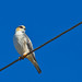 Brazilian Birds - Species # 031 - Pearl Kite