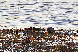 Otter in shallows 2