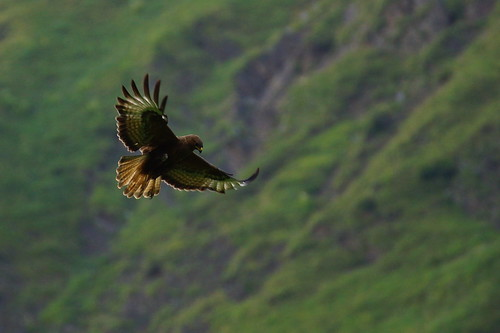 Just back from three days in the mountains - a buzzard caught by CharlesFred