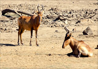 Hartebeest Relaxing In The Sun