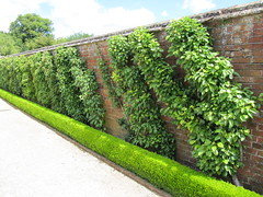 Espalier fruit trees