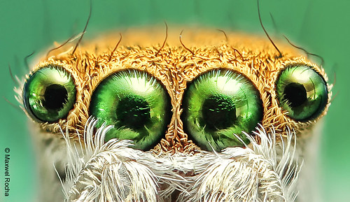 Jumping Spider Close-up