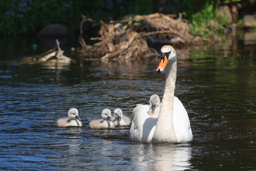irish baby green bird nature water grass animals swan babies wildlife mother cygnet fluffy birdwatching osiris muteswan cygnusolor babyswan irishwildlife irishbirds natureinireland