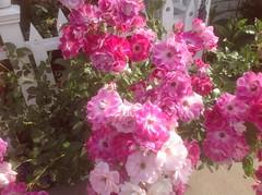 Pink Iceberg roses still going strong in September!#design #designer #alfordsgardens #roses #flowers