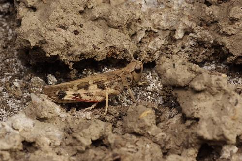 Platypygius platypygius (Acrididae: Oedipodinae) macho