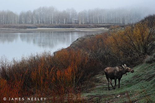 Moose at Oxbow on a Foggy Morning