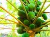papaya tree by Raj Says