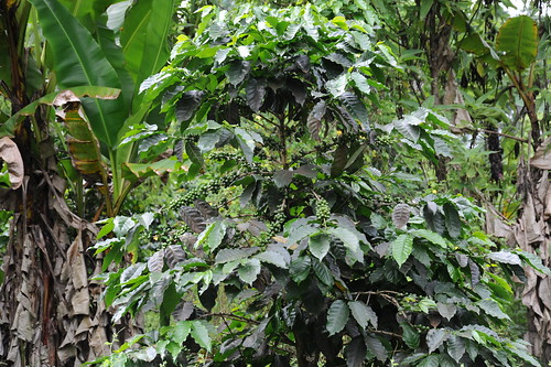 ガラパゴス産のコーヒーの実