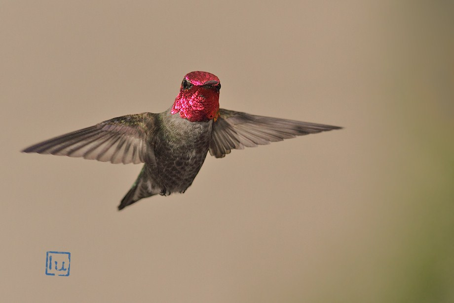 Anna's Hummingbird050112-2