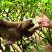 Chris making friends with a cute active baby three fingered sloth :). Jaguar Rescue Centre. Puerto Viejo, Costa Rica