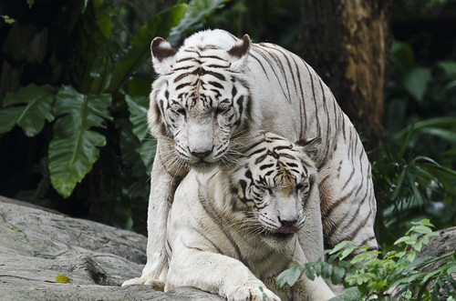 Singapore Zoo - Brother/Sister hood