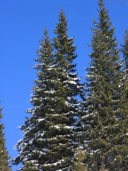 christmas tree(0.0), larch(1.0), evergreen(1.0), branch(1.0), pine(1.0), winter(1.0), tree(1.0), snow(1.0), biome(1.0), temperate coniferous forest(1.0), fir(1.0), spruce(1.0),