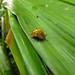 Fun little bug :).  Puerto Viejo, Costa Rica 06MAY12
