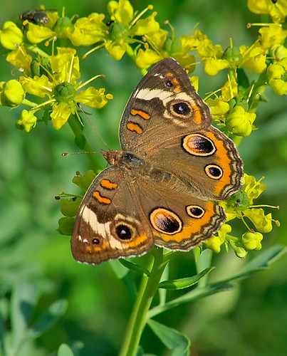 justin nature butterfly insect texas wildlife lepidoptera commonbuckeye