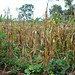 Conventionally-grown maize wilts under drought in Malawi