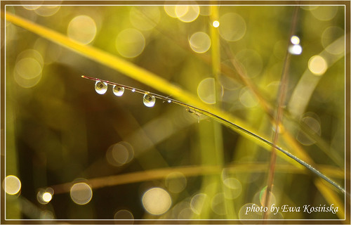The dew drops