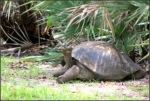 Aldabra giant tortoise (Photo credit: CC BY 2.0) - cuatrok77, flickr.com: http://bit.ly/1cFCGea)