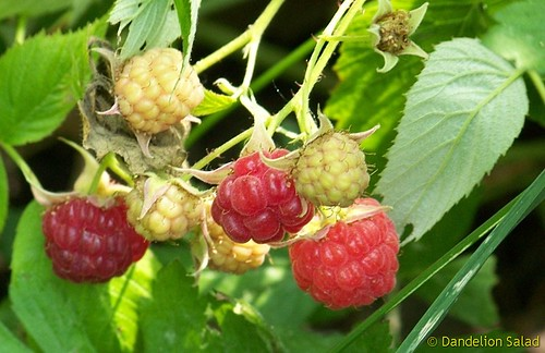 Red Raspberries Ripening