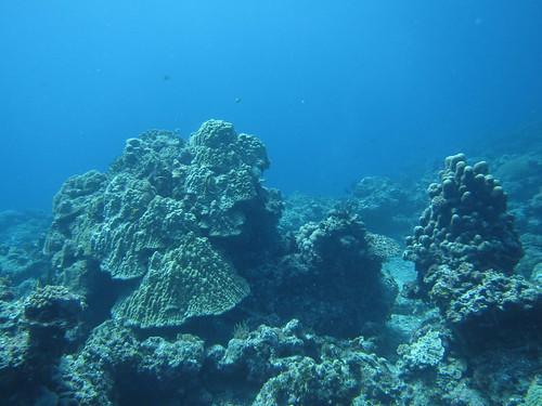 綠島的健康微孔珊瑚(林育朱 攝)