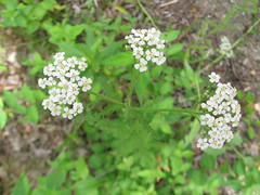 apiales(0.0), shrub(0.0), galium odoratum(0.0), anthriscus(0.0), meadowsweet(0.0), yarrow(1.0), annual plant(1.0), flower(1.0), cow parsley(1.0), plant(1.0), breckland thyme(1.0), subshrub(1.0), herb(1.0), wildflower(1.0), flora(1.0), produce(1.0), caraway(1.0),