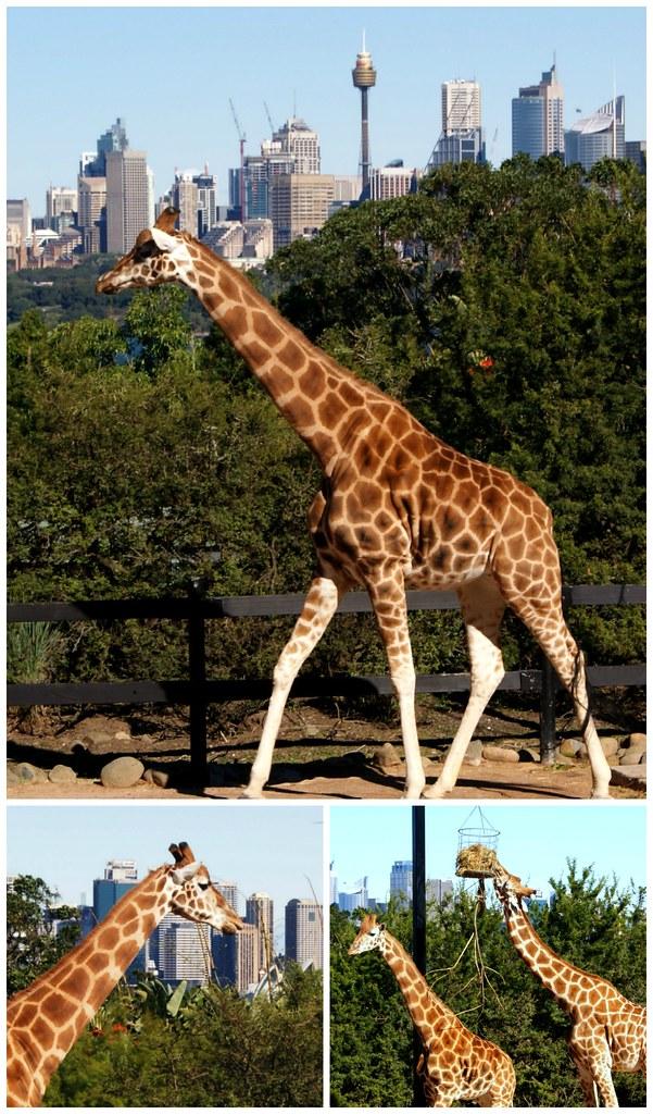 __02 giraffe