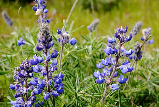 Blue Lupines - Tom McCall Preserve - Eastern Columbia River Gorge