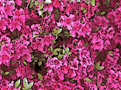 Bright Azaleas (Digital Woodcut) by randubnick