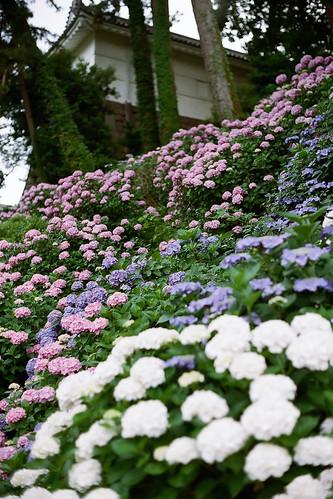 Hydrangea - Odawara Castle  by Lono_Luno