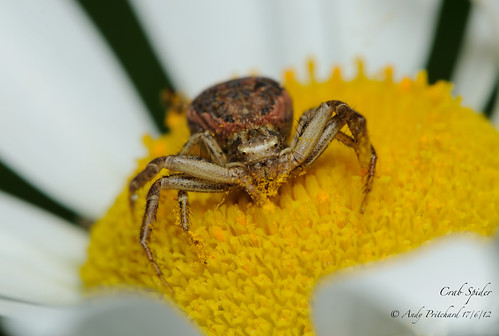 Crab Spider by Andy Pritchard - Barrowford