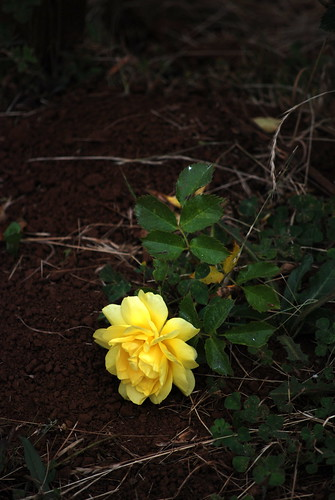 Yellow rose in red dirt on a blue blue Monday by cles22